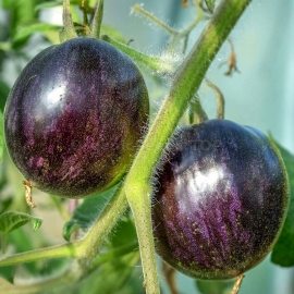 Фото «Cosmic Eclipse» - Organic Tomato Seeds