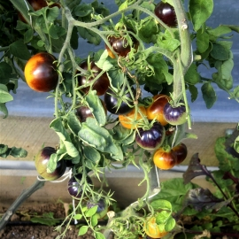 «Blue Gold» - Organic Tomato Seeds