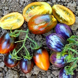 «Brad's Atomic Grape» - Organic Tomato Seeds
