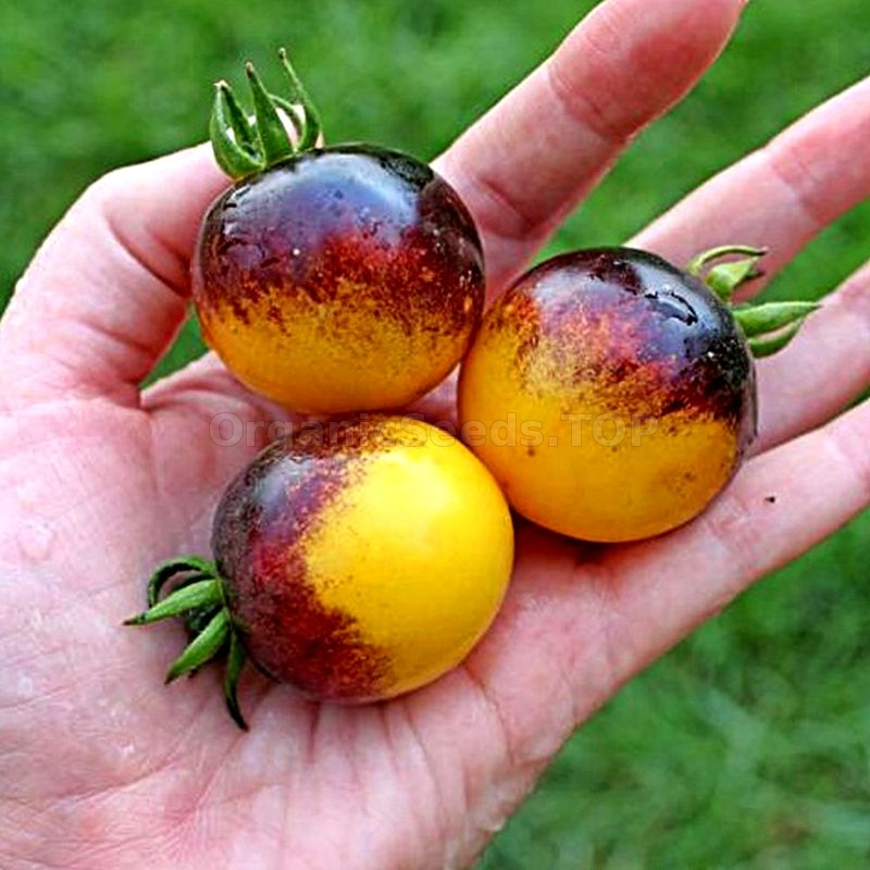 Bosque Blue Bumblebee Organic Tomato Seeds Shipping Is Free For Orders Over 35