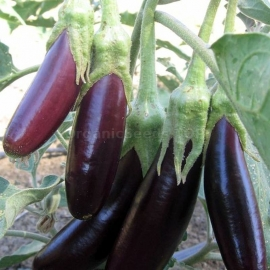«Diamond Garland» - Organic Eggplant Seeds