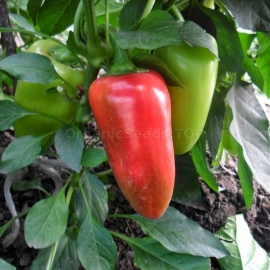 «Merchant» - Organic Pepper Seeds