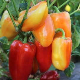 «Valyusha» - Organic Pepper Seeds