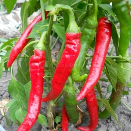 «Cigarette Pepper» - Organic Pepper Seeds
