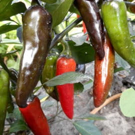 «Hot Chocolate» - Organic Hot Pepper Seeds