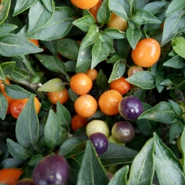 171 Hot Pops Purple 187 Organic Hot Pepper Seeds Shipping Is