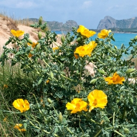 Organic Yellow Horned-Poppy Seeds (Glaucium Flavum)