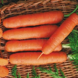 «Delicatessen» - Organic Carrot Seeds