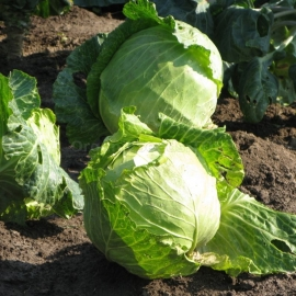 «Eliza» - Organic Cabbage Seeds