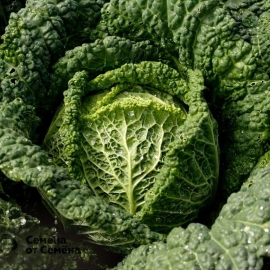«Vertu» - Organic Cabbage Seeds