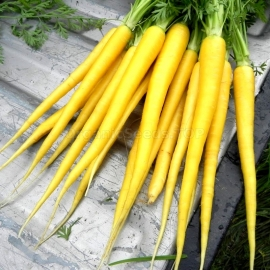«Solar Yellow» - Organic Carrot Seeds