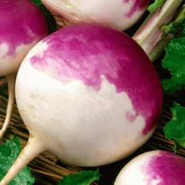 «Purple Top White Globe» - Organic Turnip Seeds
