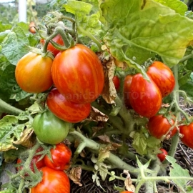 «Tigeretta Cherry Red» - Organic Tomato Seeds