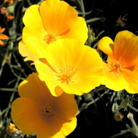 «Orange Princess» - Organic Eschscholzia Seeds