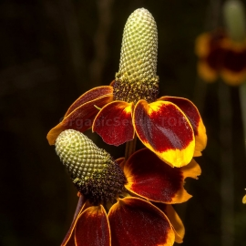 «Sombrero» - Organic Mexican Hat Seeds