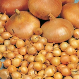 «Markov» - Organic Onion Seeds