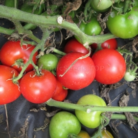 «Northern Queen» - Organic Tomato Seeds