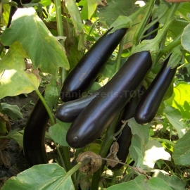 «Long Purple» - Organic Eggplant Seeds