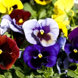 «Large Flowered Mix» - Organic Viola Seeds