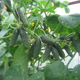 «Friendly Family» - Organic Cucumber Seeds