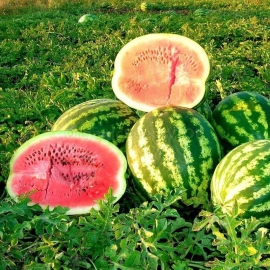 «Rose of the South-East» - Organic Watermelon Seeds
