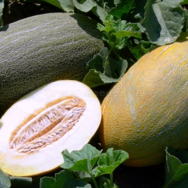 «Fortuna» - Organic Melon Seeds