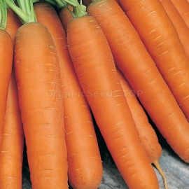 «Perfection» - Organic Carrot Seeds