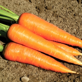«Coral» - Organic Carrot Seeds