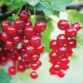 «Hope» - Organic Red Currant Seeds