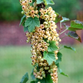«Versailles» - Organic White Currant Seeds