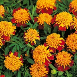«Eye of the Tiger» - Organic Tagetes Seeds