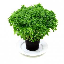 «Potted» - Organic Basil Seeds