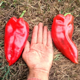 «Elephant Ears» - Organic Pepper Seeds