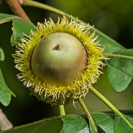 Bur Oak Seeds (Quercus Macrocarpa)