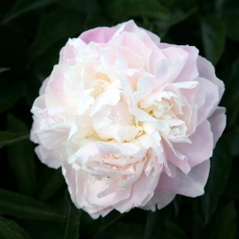 «White Princess» Tree Peonies Seeds (Paeonia suffruticosa)
