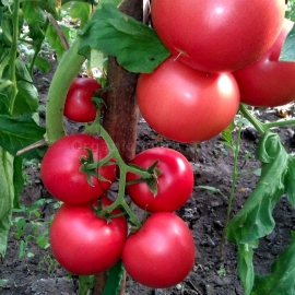 «The Tsar Bell» - Organic Tomato Seeds