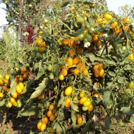 «Yellow Dates» - Organic Tomato Seeds