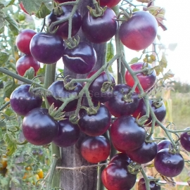 «Painted Pink» - Organic Tomato Seeds