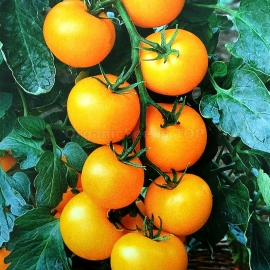 «Golden Nut» - Organic Tomato Seeds