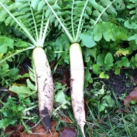 «Mino Early» - Organic Daikon Seeds