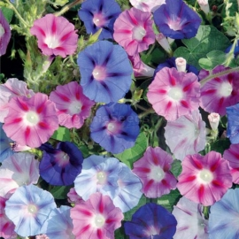 «Purple Mix» - Organic Ipomoea Seeds
