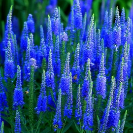 «Veronica» - Organic Spike Speedwel Seeds