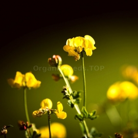 Bird's Foot Trefoil Seeds (Lotus Corniculatus)