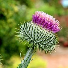 Scotch Thistle Seeds (Onopordum Acanthium)