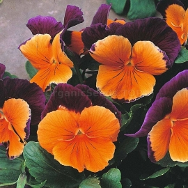 «Jolly Joker» - Organic Viola Seeds