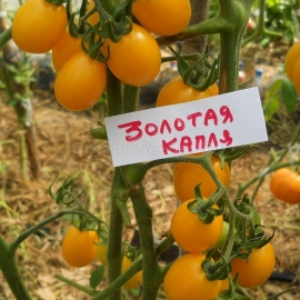 «Golden Drop» - Organic Tomato Seeds
