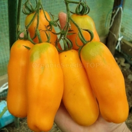 «Orange Pepper» - Organic Tomato Seeds