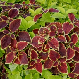 «Mix» - Organic Coleus Seeds