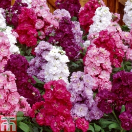 «Terry Mix» - Organic Matthiola Seeds