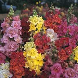 «Dwarf Mix» - Organic Antirrhinum Seeds